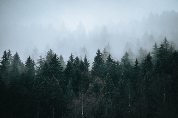 coniferous woods under sky on foggy day